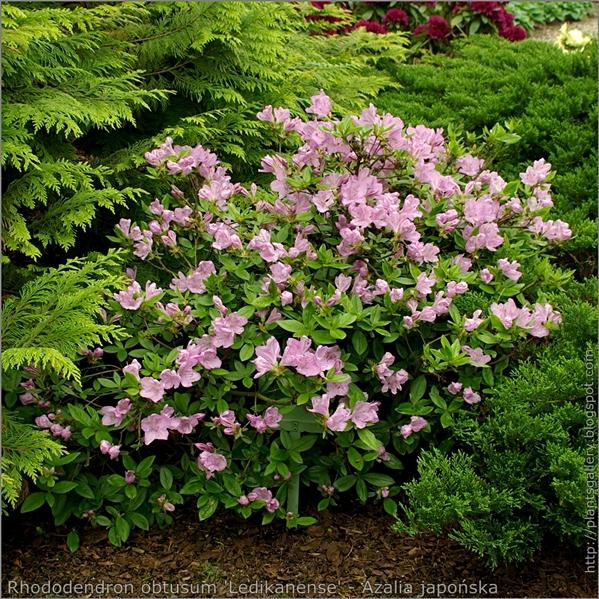 Rhododendron obtusum 'Ledikanense' - Azalia japońska