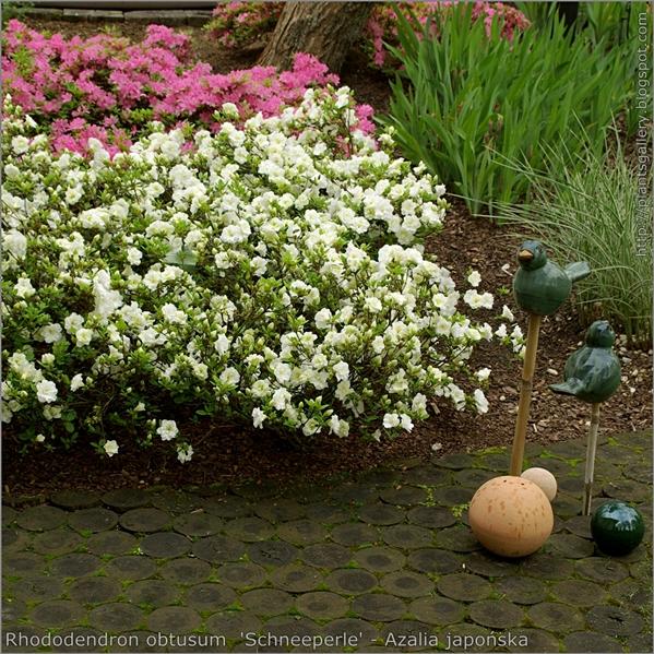 Rhododendron obtusum  'Schneeperle' - Azalia japońska