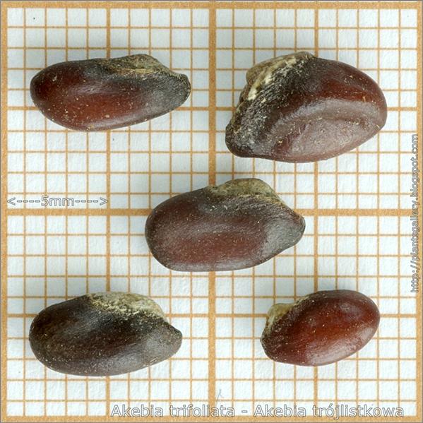Akebia trifoliata seed - Akebia trójlistkowa nasiona