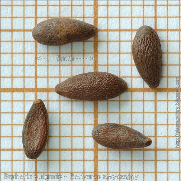 Berberis vulgaris seed - Berberys zwyczajny, Berberys pospolity nasiona