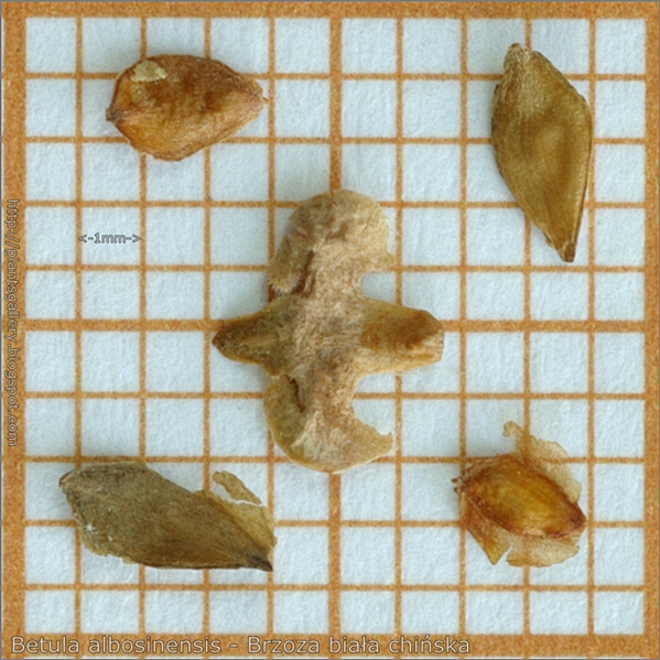Betula albosinensis seed - Brzoza biała chińska nasiona