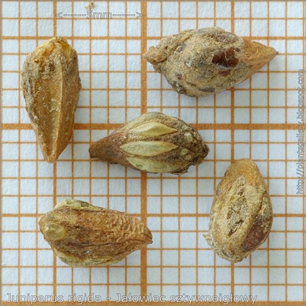 Juniperus rigida seeds - Jałowiec sztywnoigłowy nasiona