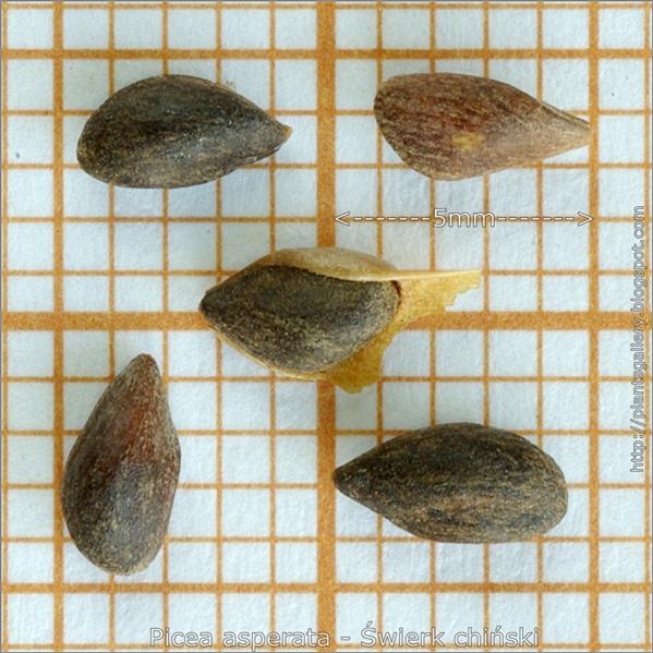 Picea asperata seeds - Świerk chiński nasiona