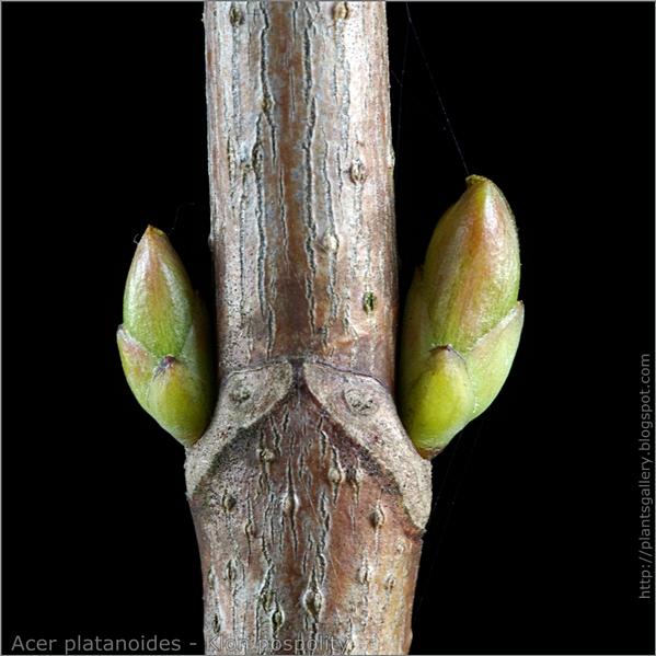 Acer platanoides leaf bud - Klon pospolity boczne pąki liściowe
