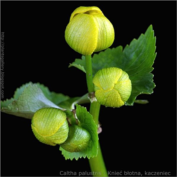 Caltha palustris flower bud - Knieć błotna, kaczeniec pąki kwiatowe