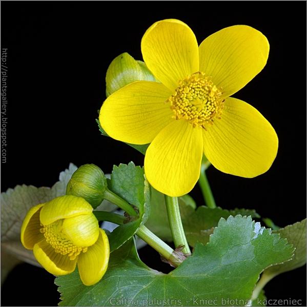 Caltha palustris flower - Knieć błotna, kaczeniec kwiat