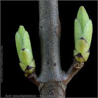Acer pseudoplatanus leaf bud - Klon jawor pąki liściowe