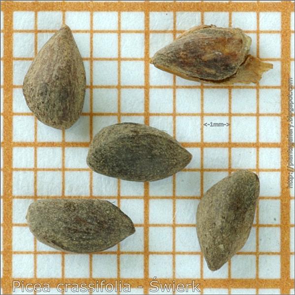 Picea crassifolia seeds - Świerk nasiona