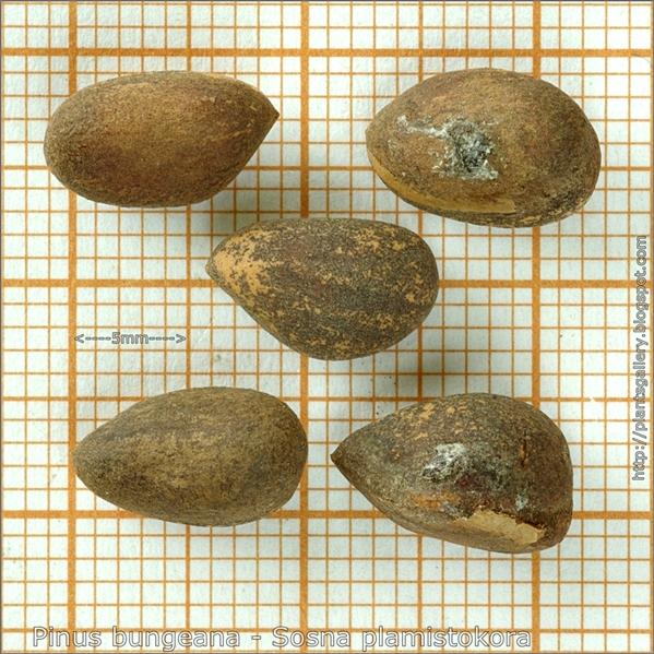 Pinus bungeana seeds - Sosna plamistokora nasiona