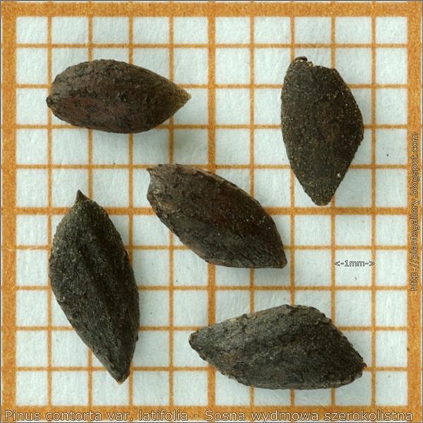 Pinus contorta var. latifolia seeds - Sosna wydmowa szerokolistna nasiona
