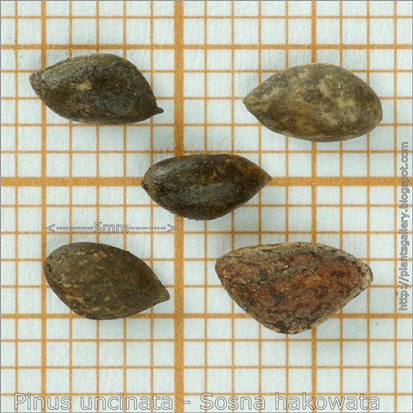 Pinus uncinata seeds - Sosna hakowata nasiona