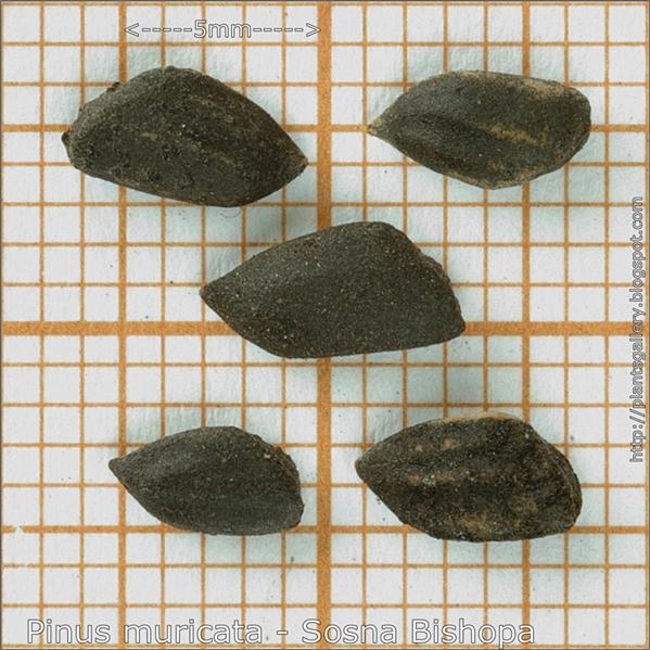 Pinus muricata seeds - Sosna Bishopa nasiona