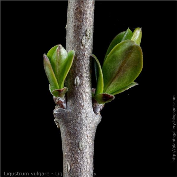 Ligustrum vulgare young leaf - ligustr pospolity młode listki