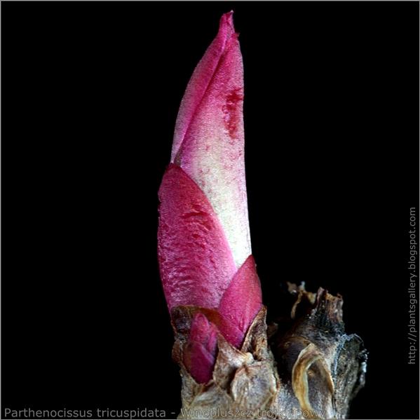 Parthenocissus tricuspidata bud - Winobluszcz trójklapowy pąk wierzchołkowy