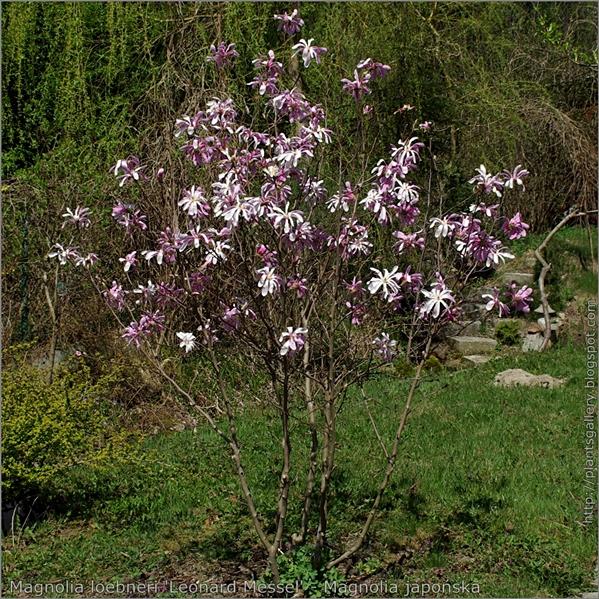 Magnolia loebneri 'Leonard Messel' - Magnolia Loebnera pokróój kwitnącej rosliny