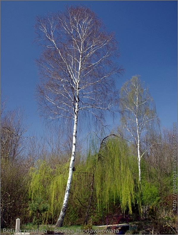 Betula pendula - Brzoza brodawkowata pokrój w stanie bezlistnym