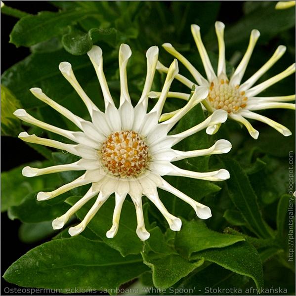 Osteospermum ecklonis Jamboana 'White Spoon' flower - Osteospermum, Stokrotka afrykańska kwiat