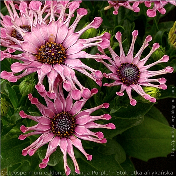 Osteospermum ecklonis 'Nasinga Purple' flower - Osteospermum, Stokrotka afrykańska kwiaty