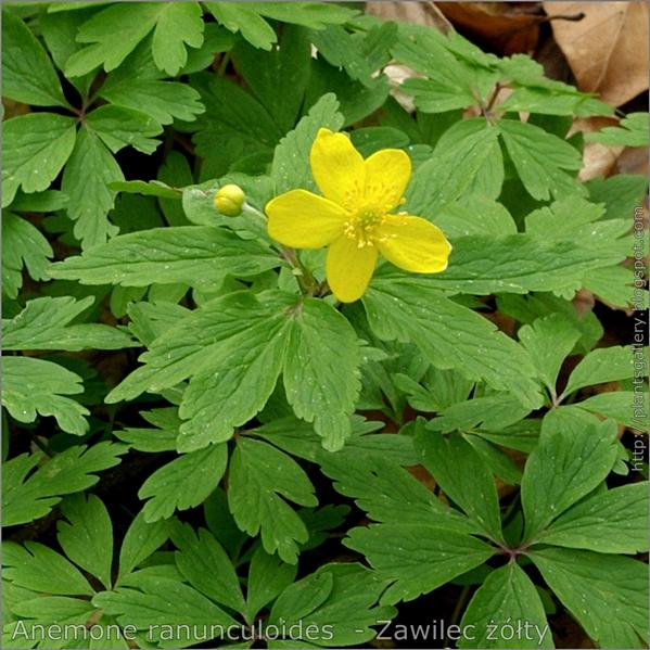 Anemone ranunculoides flower   - Zawilec żółty kwiat