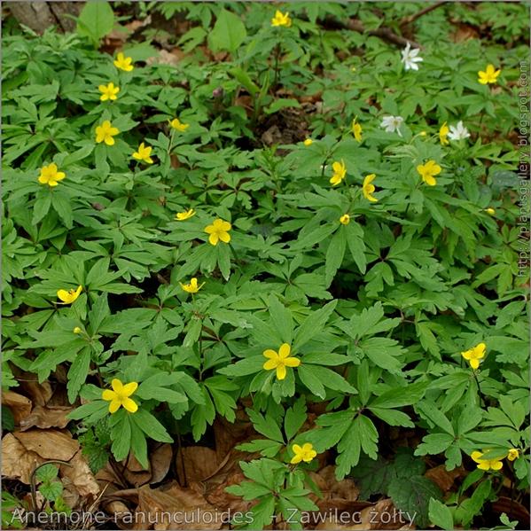 Anemone ranunculoides  - Zawilec żółty pokrój