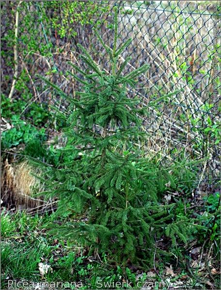 Picea mariana - Świerk czarny pokrój młodej rosliny