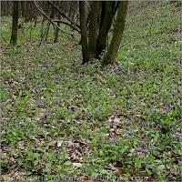 Pulmonaria obscura - Miodunka ćma na naturalnym stanowisku w bukowym lesie