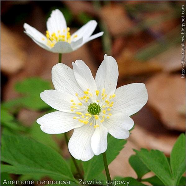 Anemone nemorosa flower - Zawilec gajowy kwiat
