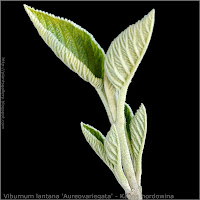 Viburnum lantana 'Aureovariegata' young leaf - Kalina hordowina młode listki