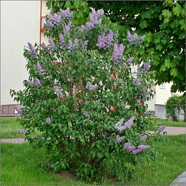 Syringa vulgaris - lilak pospolity pokrój w okresie kwitnienia