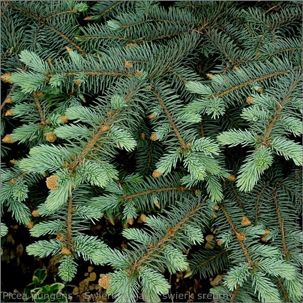 Picea pungens - Świerk kłujący, świerk srebrny młode przyrosty