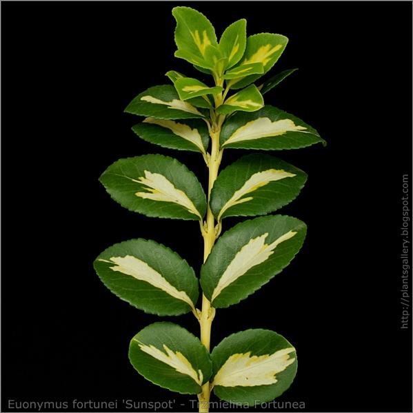 Euonymus fortunei 'Sunspot' leaf - Trzmielina Fortunea liście z wierzchu