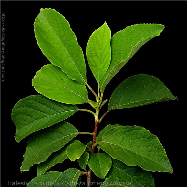Halesia carolina - Ośnieża czteroskrzydła ulistniony pęd