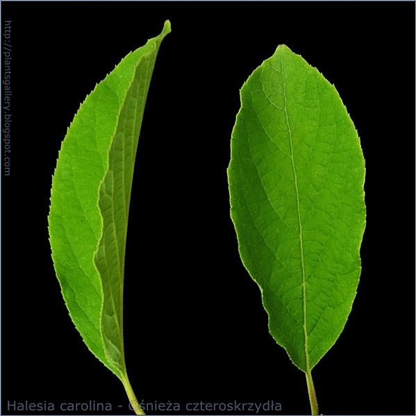 Halesia carolina leaf - Ośnieża czteroskrzydła liść