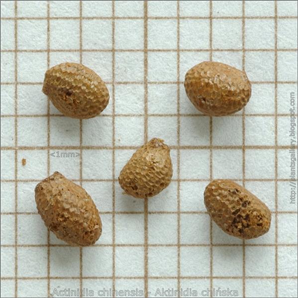Actinidia chinensis seed - Aktinidia chińska nasiona