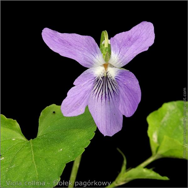 Viola collina flower - Fiołek pagórkowy kwiat