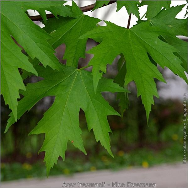 Acer freemanii leaf - Klon Freemana liście