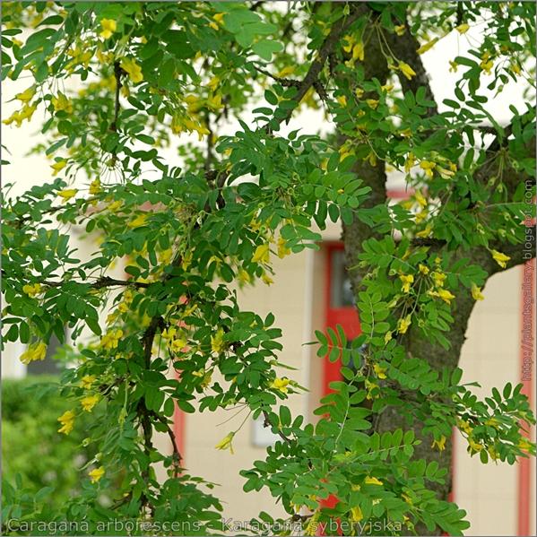 Caragana arborescens - Karagana syberyjska kwiaty i liście
