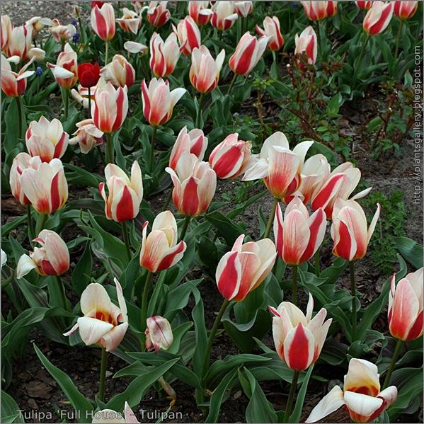 Tulipa 'Full House' - Tulipan pokrój