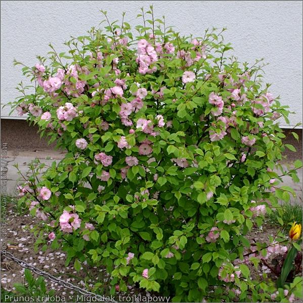 Prunus triloba - Migdałek trójklapowy pokrój