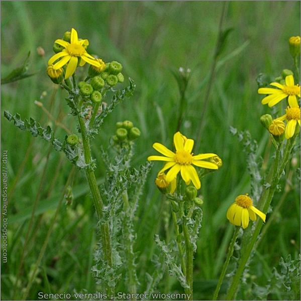 Senecio vernalis - Starzec wiosenny kwiaty