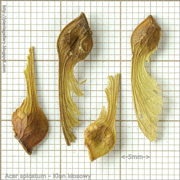 Acer spicatum seed - Klon kłosowy nasiona