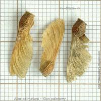 Acer palmatum seed - Klon palmowy nasiona