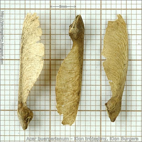Acer buergerianum seed - Klon trójzębny, Klon Burgera nasiona