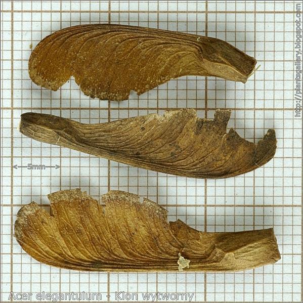 Acer elegantulum seed - Klon wytworny nasiona
