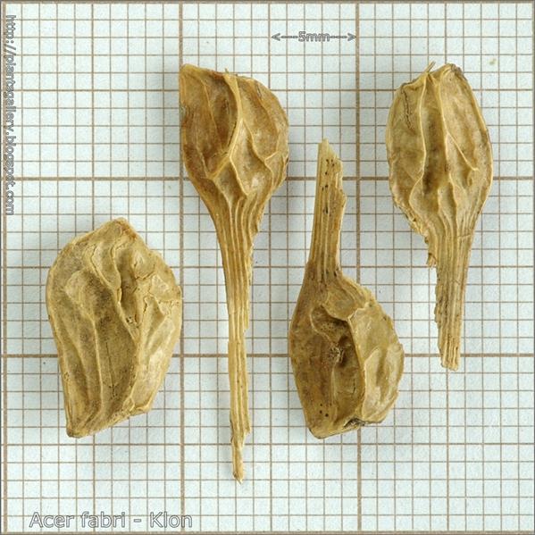 Acer fabri seed - Klon nasiona