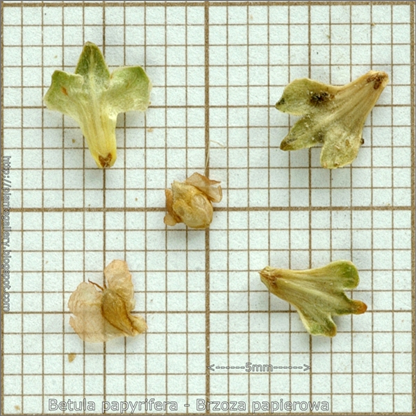 Betula papyrifera seed - Brzoza papierowa nasiona