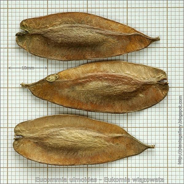 Eucommia ulmoides seed - Eukomia wiązowata, E. wiązolistna nasiona