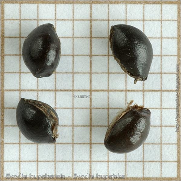 Evodia hupehensis seed - Evodia hupejska nasiona
