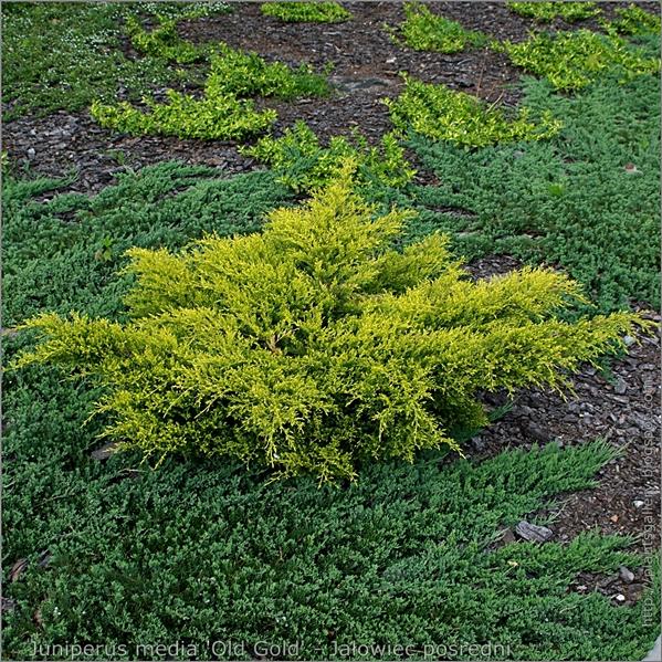 Juniperus media 'Old Gold' - Jałowiec pośredni 'Old Gold' pokrój młodej rośliny