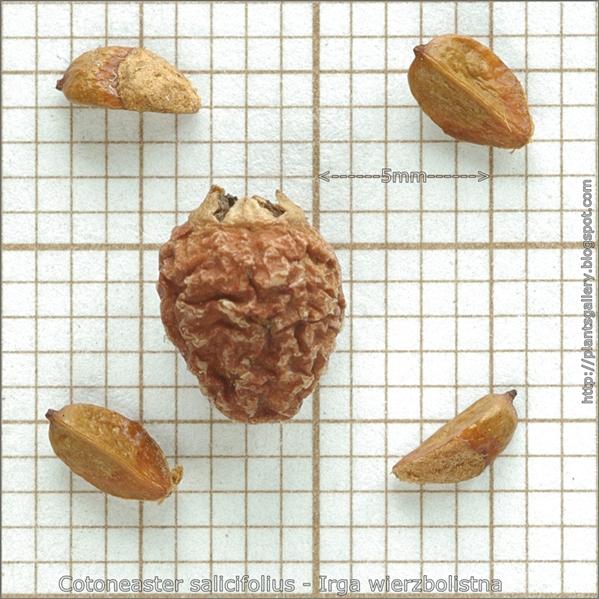 Cotoneaster salicifolius seed - Irga wierzbolistna nasiona